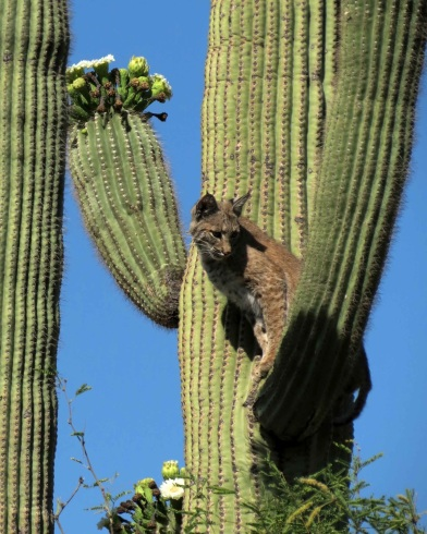 Image result for pics desert bobcats in cactus tree