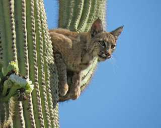 Image result for pics  cactus bobcat