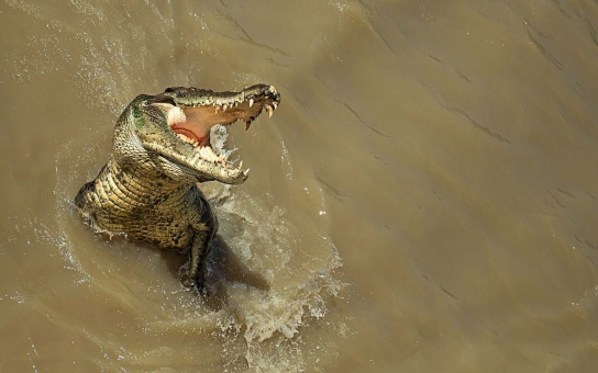 Image result for pics aligator jumping swamp